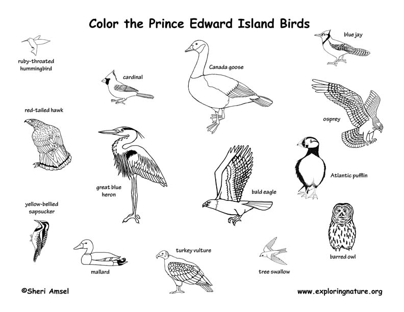 Canadian Province - Prince Edward Island birds coloring page