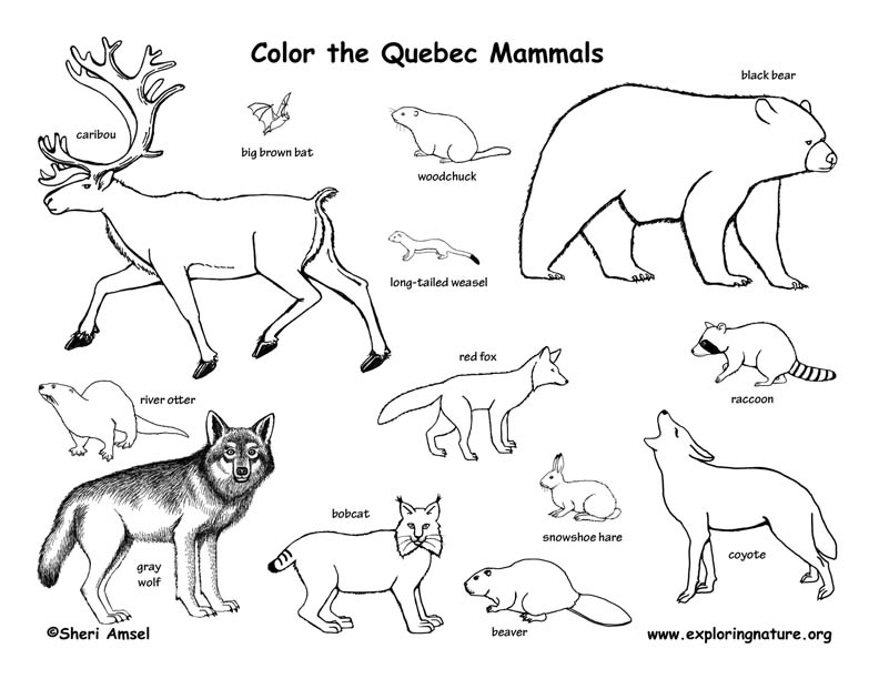 coloring pages of canadian animals - photo#10