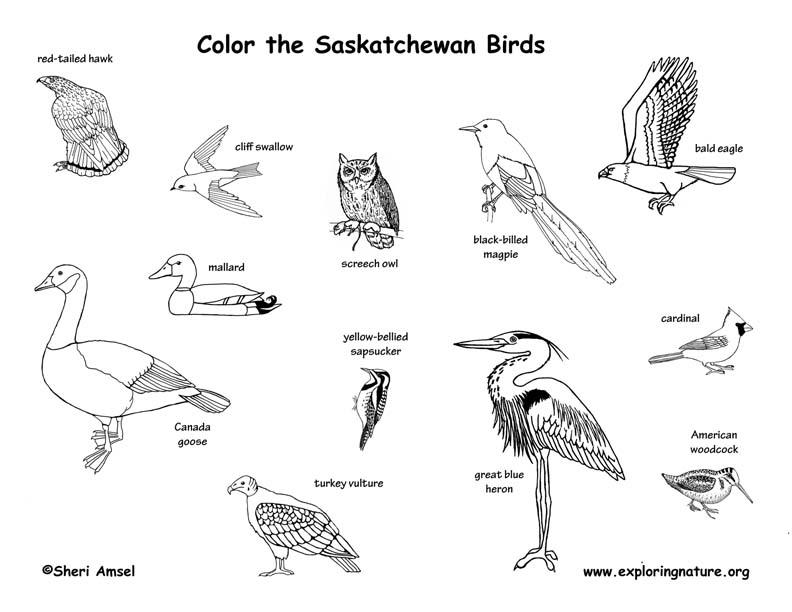 Canadian Province - Saskatchewan birds coloring page