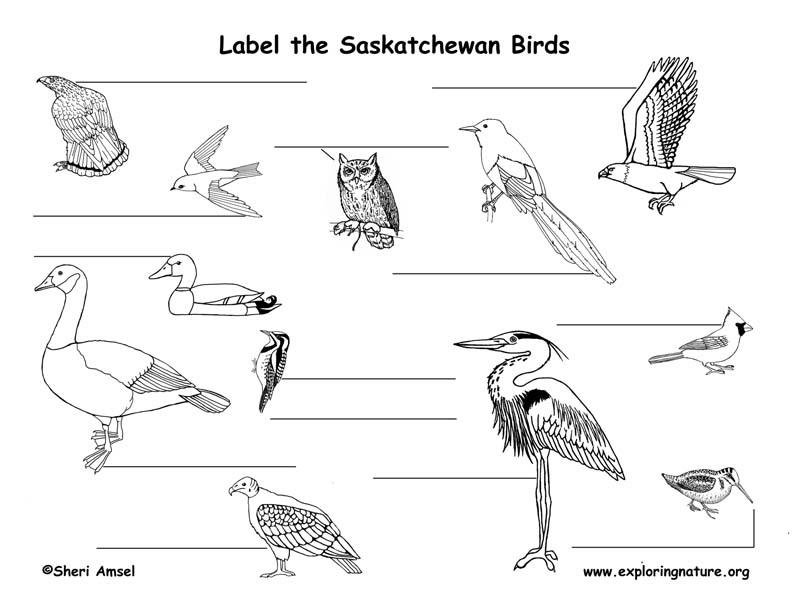 Canadian Province - Saskatchewan birds labeling page