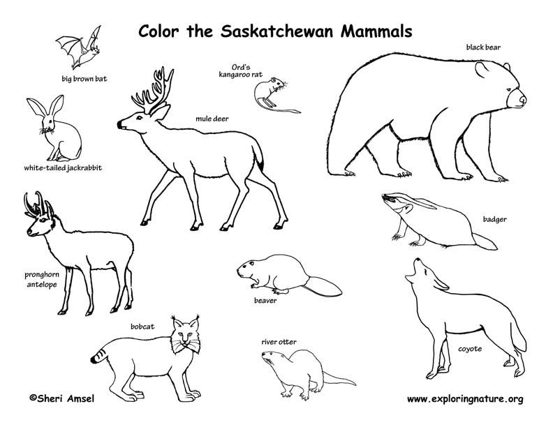 Canadian Province - Saskatchewan mammals coloring page