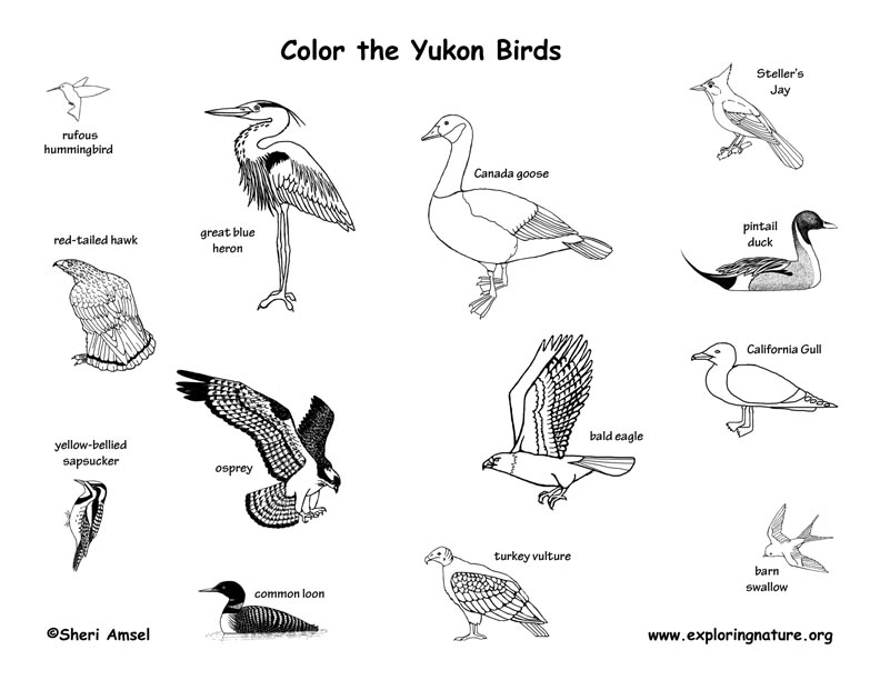 Canadian Territory - Yukon birds coloring page