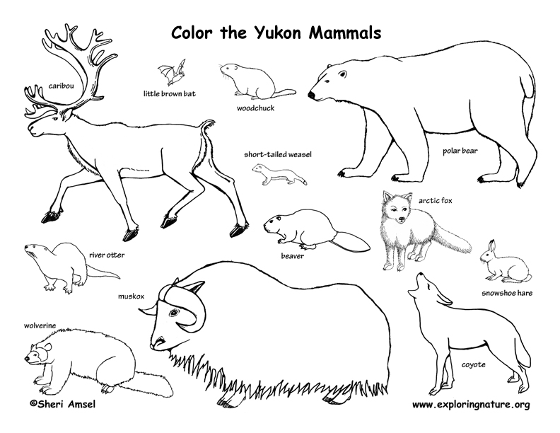 Canadian Territory - Yukon mammals coloring page