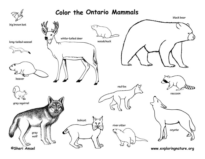Canadian Province - Ontario mammals coloring page