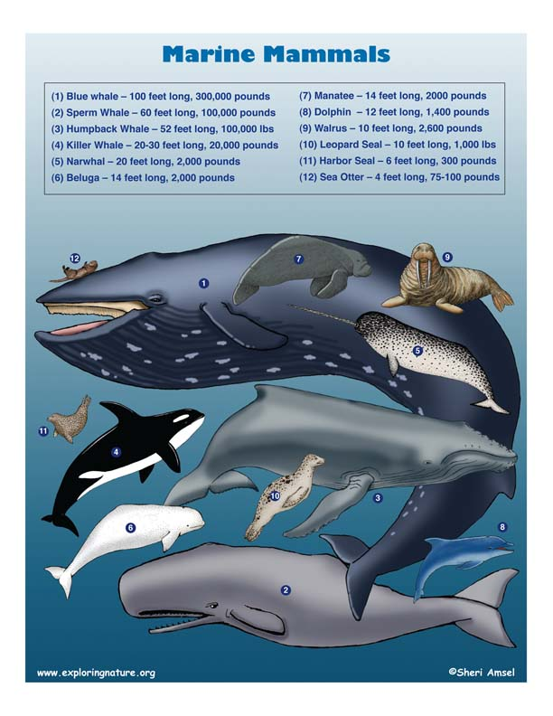 Marine Mammals Illustrated and Named