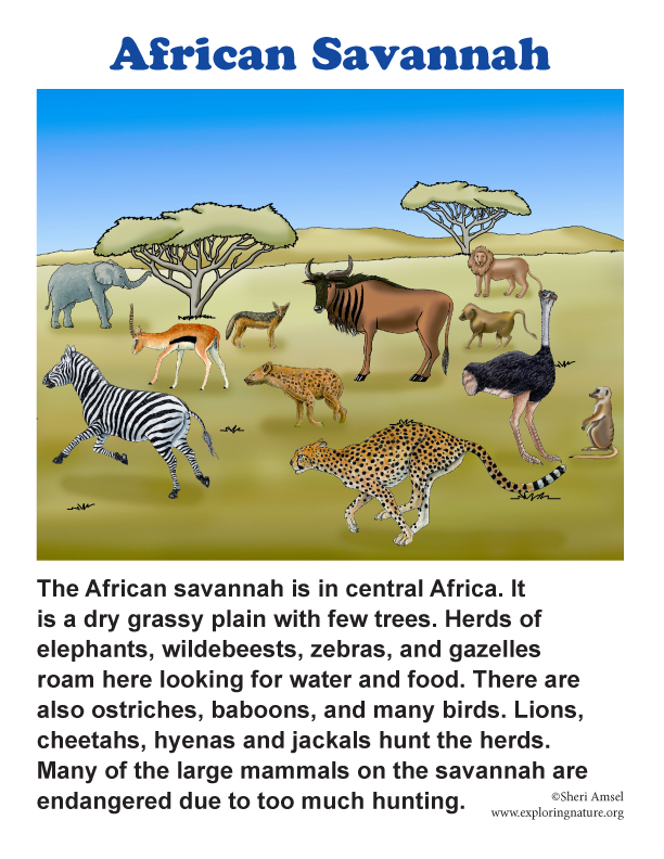 african savanna biome Savannas are expansive grasslands typically found in countries near the equator  they are  elephant grass thrives in the african savanna written by dr mary.