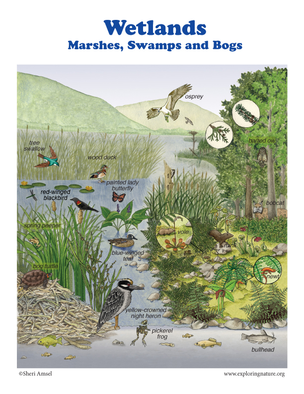 adaptive features of plants and animals in marshes Swamps are complex environments rife with diverse plant and animal life and  unique demands for indigenous populations varied terrain.
