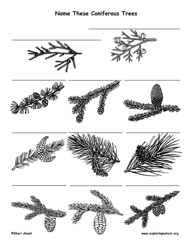 Coniferous Tree Identification Activity