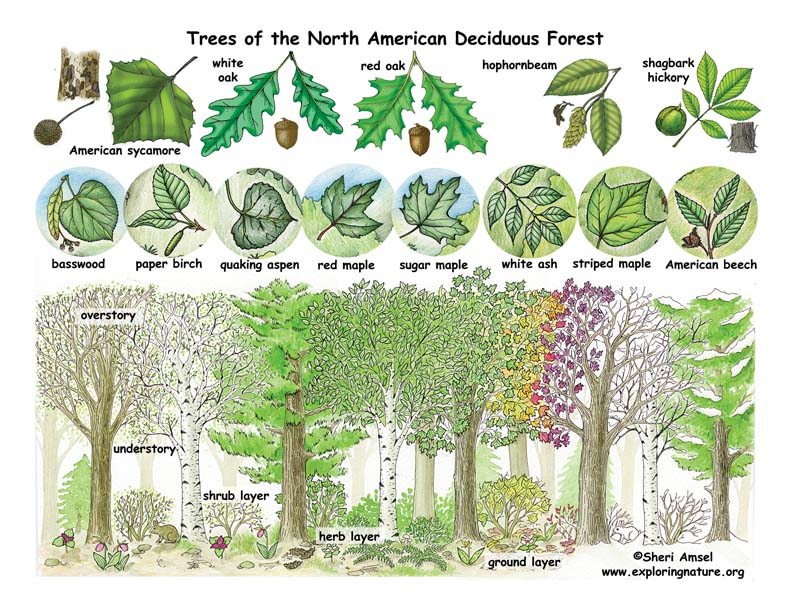 Deciduous Forest Layers And Leaves Poster