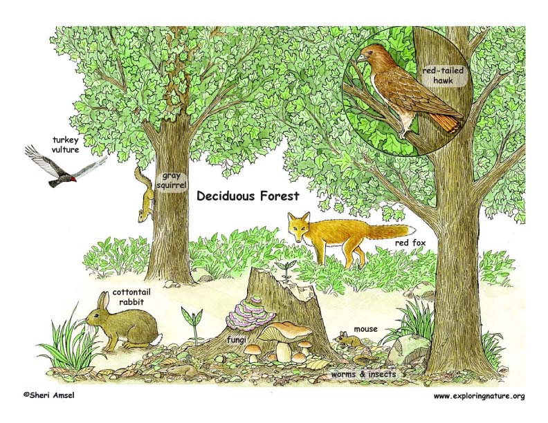 Deciduous Forests – North American Biomes Worksheet