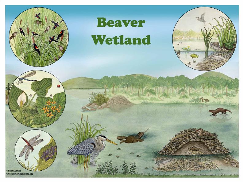 beaver wetland