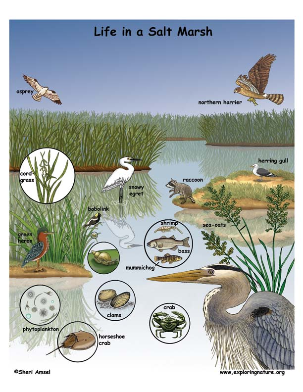 adaptive features of plants in salt water swamp Where fresh and salt water mix salt marsh plants are salt tolerant and adapted to water levels that fluctuate few plants have evolved adaptations to cope.