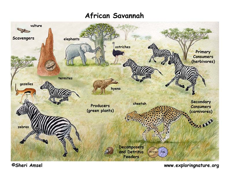 tropical savannah Savanna - biological productivity: savannas have relatively high levels of net primary productivity compared with the actual biomass (dry mass of organic matter) of the vegetation at any one.