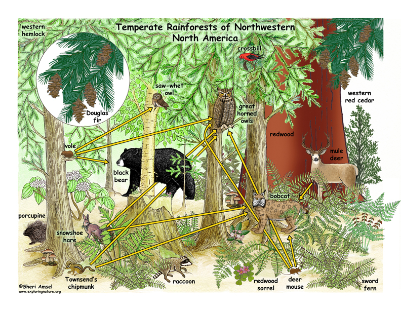 Temperate Rainforest Food Web Illustrated and Labeled