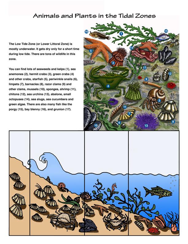 The Intertidal Zones - Tide Pool Habitat