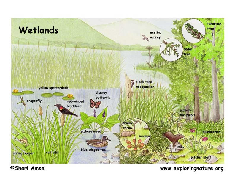 Marshes, Swamps and Bogs