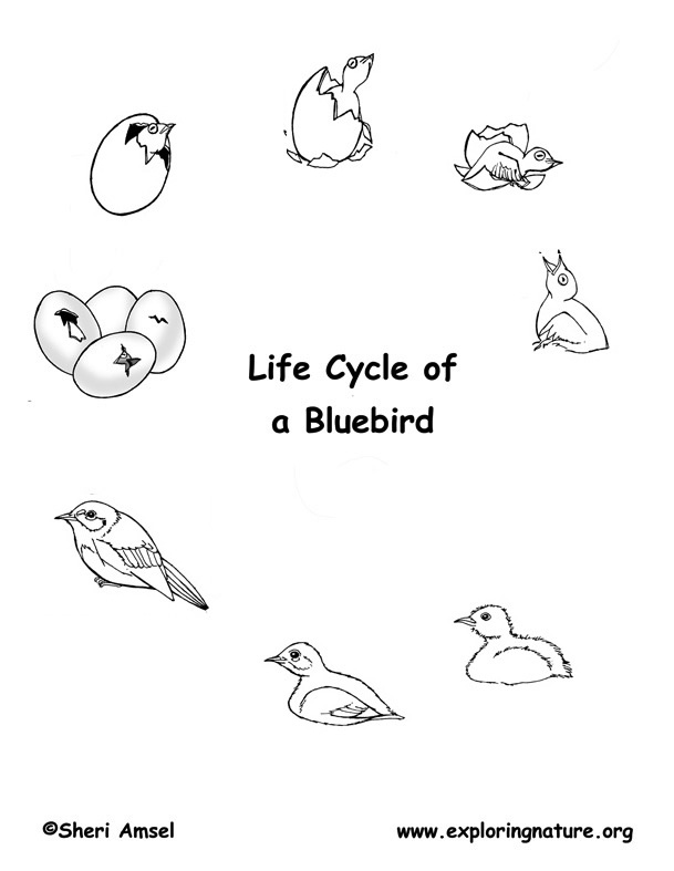 bird life cycle eastern bluebird