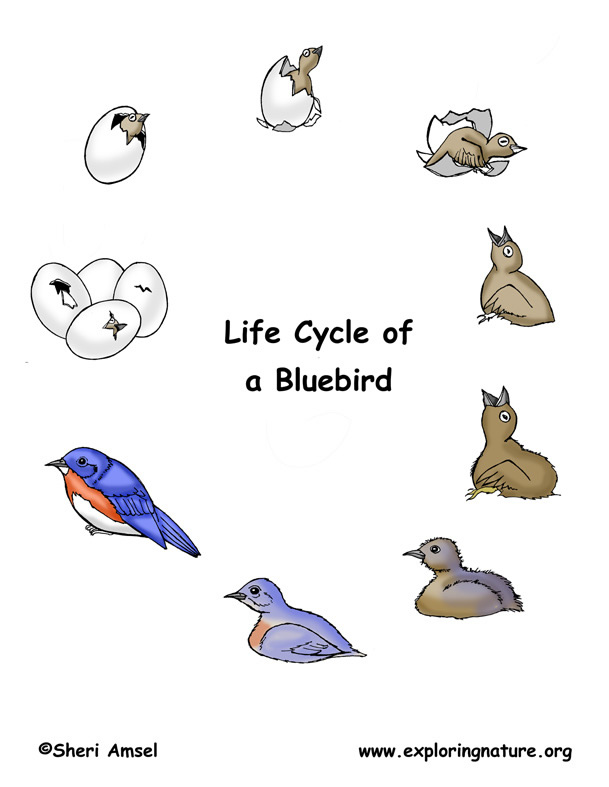 Bird Life Cycle (Eastern Bluebird)
