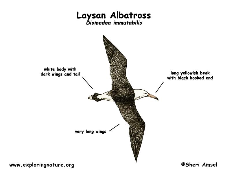 Albatross (Laysan)