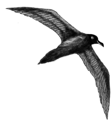 Albatross (Sooty)