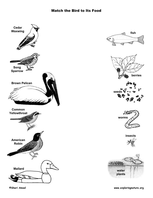 Match the Birds to Their Food, bird beaks, beak, matching bird beaks