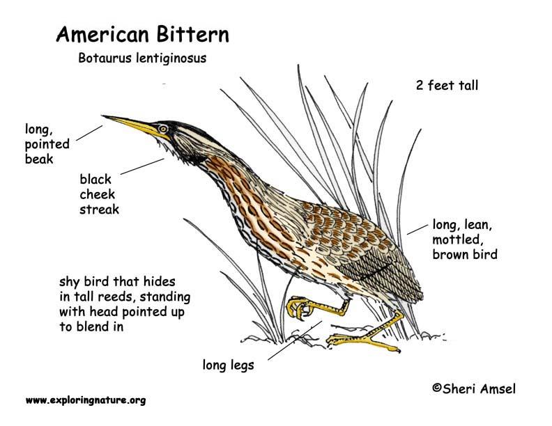 Bittern (American)