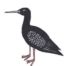 Kaki (Black Stilt)