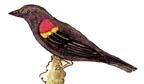 Blackbird (Red-winged)