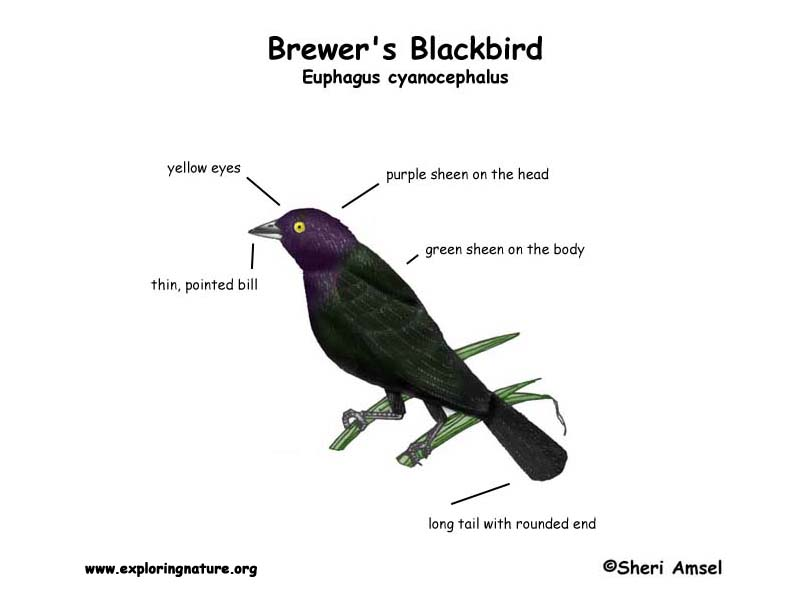 Blackbird (Brewer's)