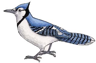 Blue jay for Blue jay coloring page
