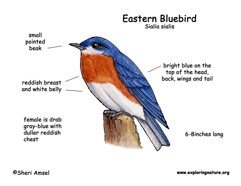 Bluebird  Eastern