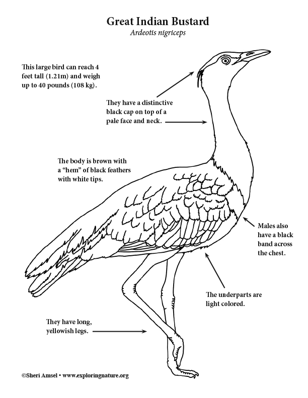 Great Indian Bustard Coloring Page