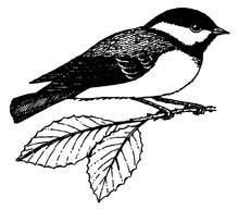 Chickadee (Black-capped)
