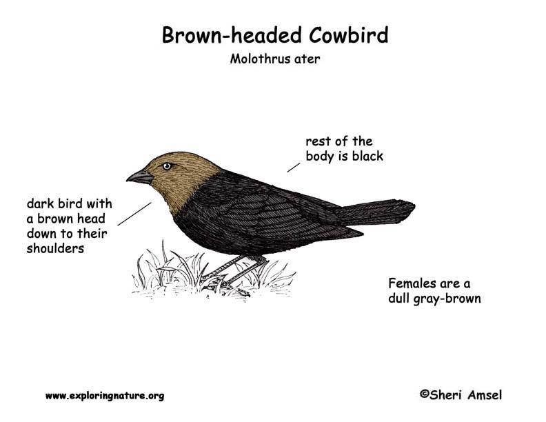 Cowbird (Brown-headed)