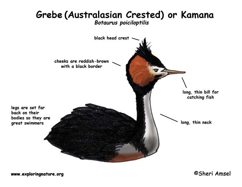 Grebe (Australasian Crested Grebe) or Kamana