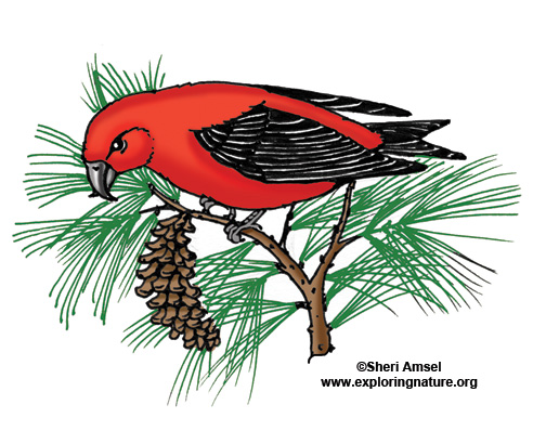 Crossbill (Red)