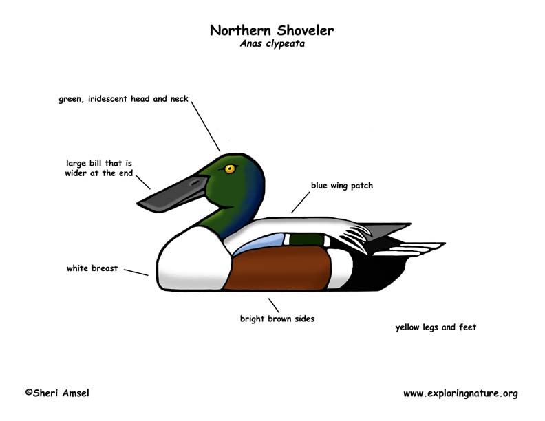 Duck (Northern Shoveler)