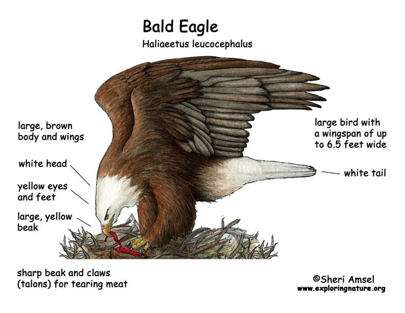 Swell Bald Eagle Diagram Basic Electronics Wiring Diagram Wiring Digital Resources Remcakbiperorg