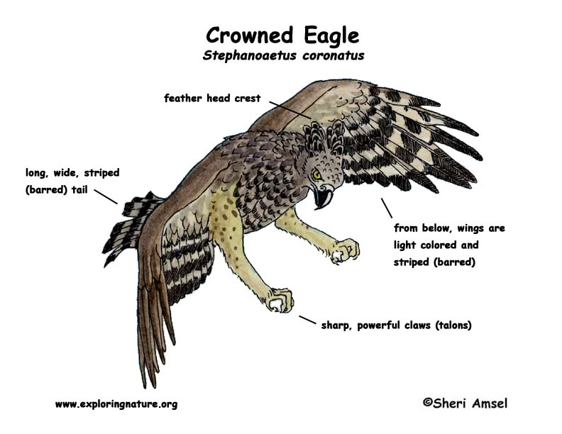 Eagle (Crowned)