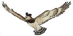Eagle (Harpy)