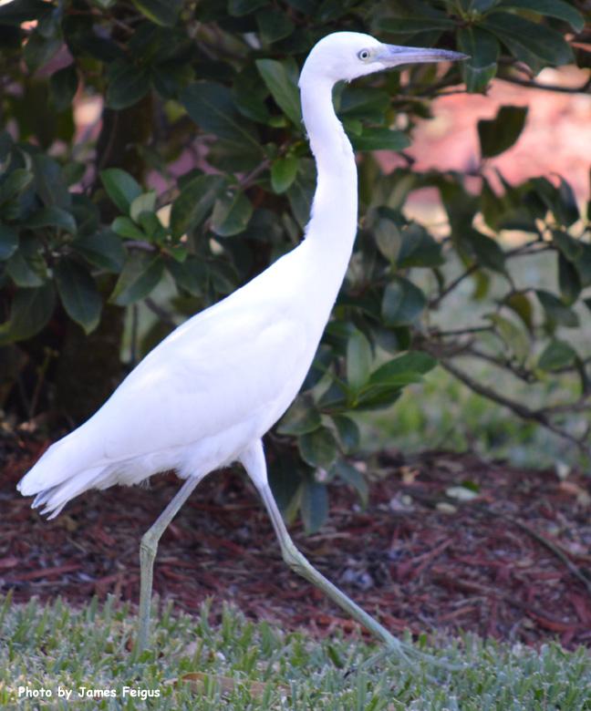 Egret (Snowy)