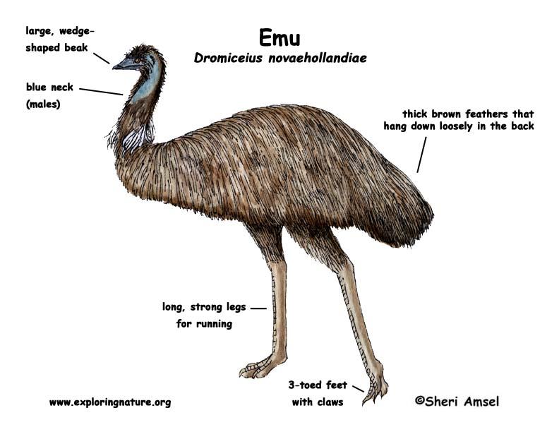 Body Worlds Gripping Look Inside Animals Reveals Human ... |Emu Anatomy