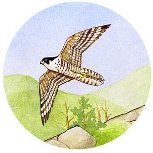 Falcon (Peregrine)