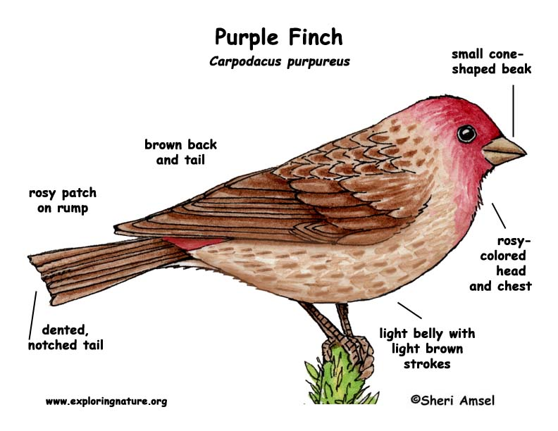 Finch (Purple)