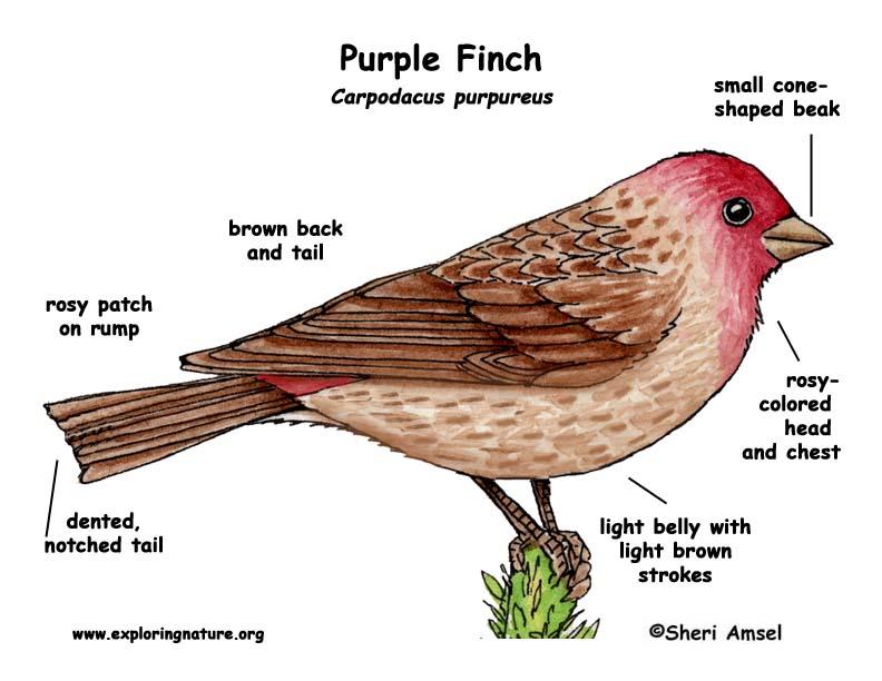 Purple Finch Nest Finch  Purple