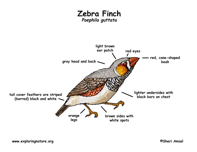 Zebra Classification Finch  Zebra