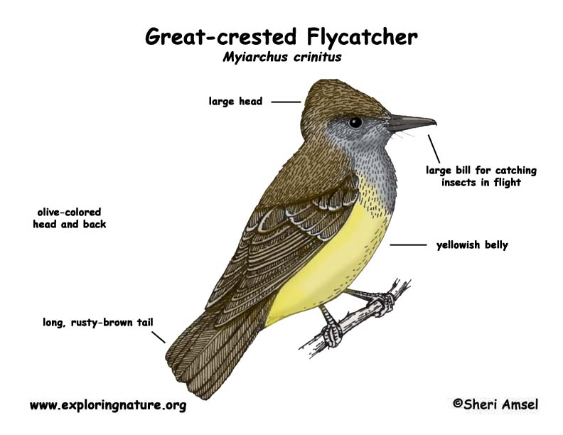 Flycatcher (Great-crested)