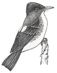 Flycatcher (Olive-sided)