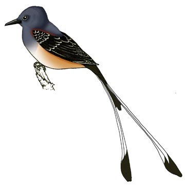 Flycatcher (Scissor-Tailed)