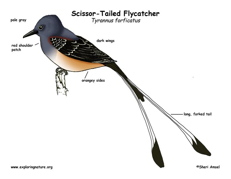 Flycatcher (Scissor-Tailed)